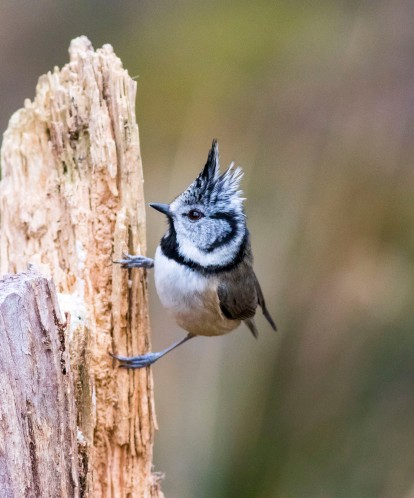 01 crested tit 11
