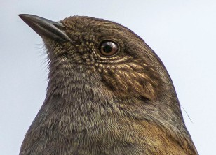 01 dunnock head 1