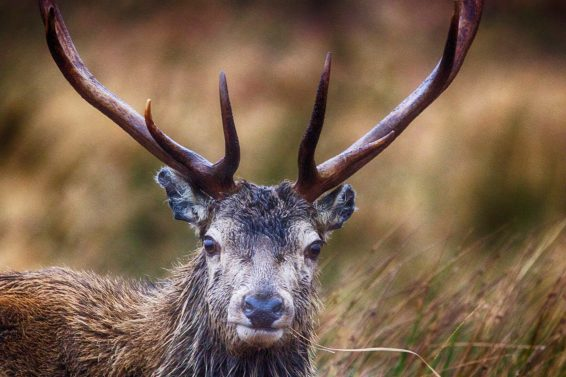 01 stag head 1