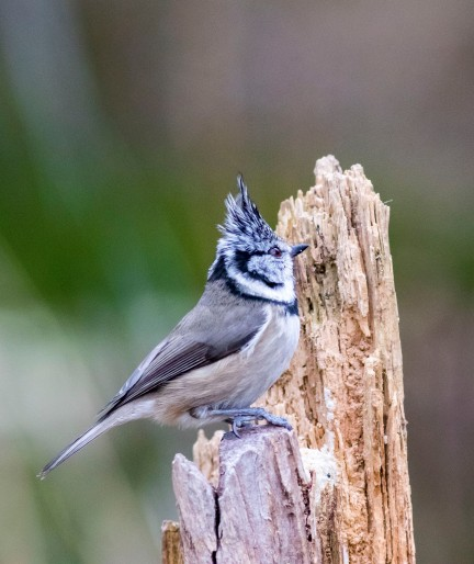 02 crested tit 18 good
