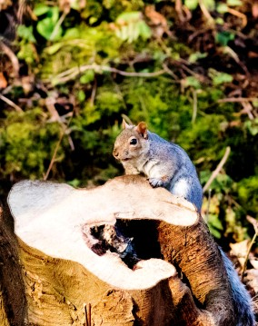 04 grey squirrel 1