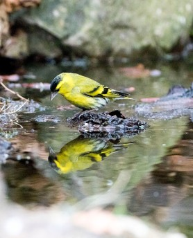 siskin reflection