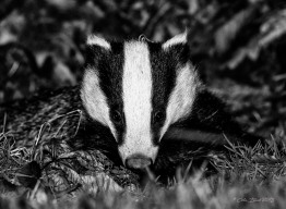 01 badger bnw copy