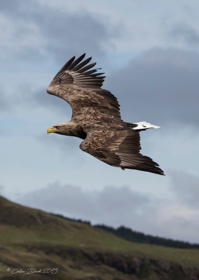 adult sea eagle 1