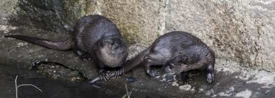 cropped-otters_101.jpg