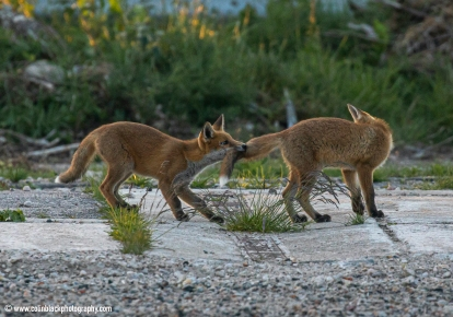 03 foxes playing_57