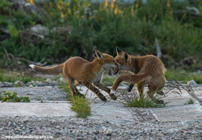04 foxes playing_59