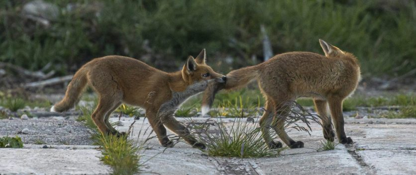 cropped-03-foxes-playing_57.jpg