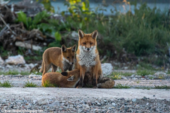 foxes playing_16